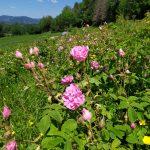 Rosiers de Damas en fleurs