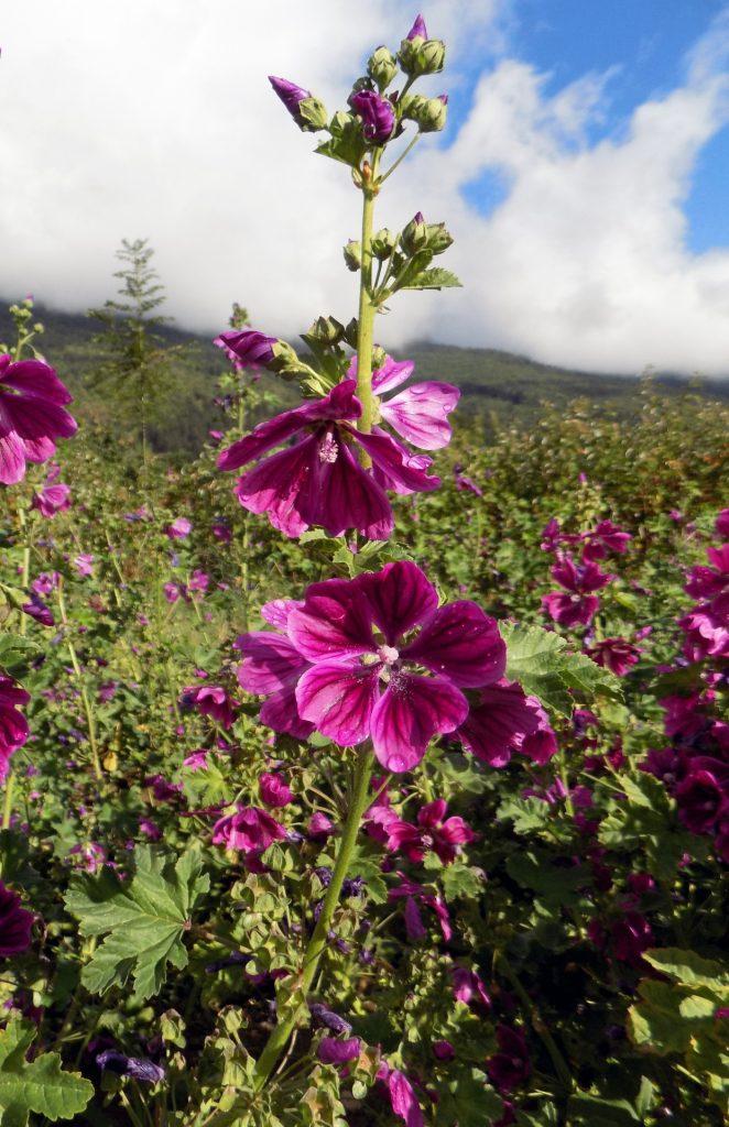 Fleurs de Mauve de Mauritanie